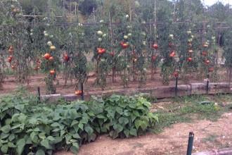 Une dizaine de variétés de tomates anciennes